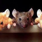 Con Chuột số mấy ? Mơ thấy chuột báo điềm gì ? Đánh con gì ?
